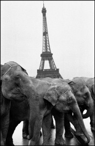 Elephants du cirque Bouglione pendant la traversée de Paris place du trocadéro Paris 1997 / Copyright : Guy Le Querrec-Magnum